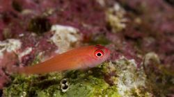 'Red small fish' from Lembeh. Taken with Olympus E-20 in ... by Istvan Juhasz 
